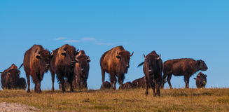 Badlands Bison Walking Towards the Camera Panoramic Horizontal Royalty Free Stock Photo