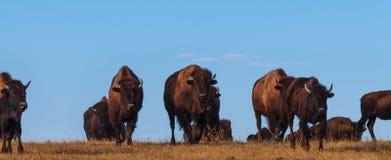 Badlands Bison Walking Towards the Camera Panoramic Horizontal Stock Photo