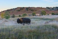 Badlands Bison Stock Images