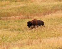 Badlands bufalo. Bufalo grazing in grasslands surronding Badlands National Park, South Dakota Royalty Free Stock Photography