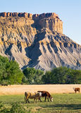 Badlands Cattle Stock Photo