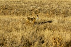 Badlands Coyote Royalty Free Stock Images