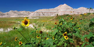Badlands National Park Wildflowers. Wildflowers amid the arid landscape of Badlands National Park - South Dakota Stock Image