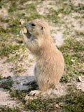 Badlands Preryjny pies Zdjęcia Stock