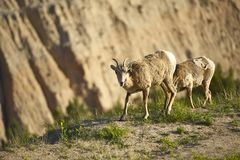 Badlands Sheep Stock Photos