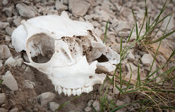 Badlands Sheep Skull Stock Image