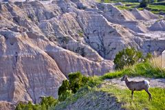Badlands Wildlife Animals Royalty Free Stock Photos