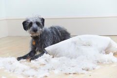 Badly Behaved Dog Ripping Up Cushion At Home Stock Image