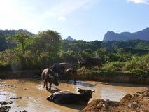 Badning för vattenbuffel i naturlig pöl Arkivbild