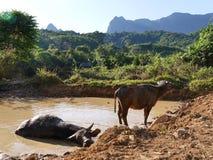 Badning för vattenbuffel i naturlig pöl Arkivfoto