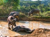Badning för vattenbuffel i naturlig pöl Royaltyfri Foto