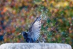 Badning och plaska för fågel Royaltyfria Bilder