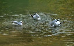 badningfiskmåsar Royaltyfri Bild