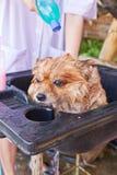 Badtid för brun pomeranian dusch Royaltyfri Bild