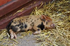 Bady Pig. Sleeping on straw royalty free stock photography