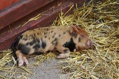 bady świnia Fotografia Royalty Free