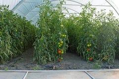 Badyle pomidory w szklarni Zdjęcia Royalty Free