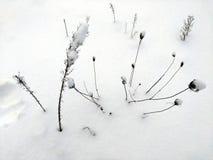 Badyle rośliny w śniegu Zdjęcia Royalty Free