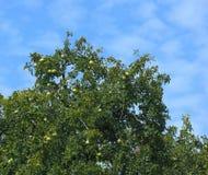 Bael-Baum mit Früchten Lizenzfreies Stockfoto