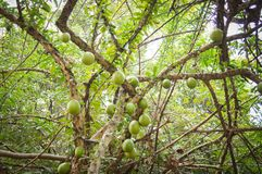 Bael fruit. On the tree Stock Photos