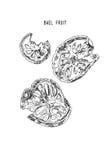 Bael fruit , Sketch line art hand drawn illustration.  Stock Images