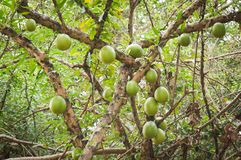 Bael fruit. On the tree Royalty Free Stock Image