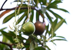 Bael fruit tree.The fruit for digestive system. Bael fruit tree.The fruit has medicinal value for digestive system stock photography