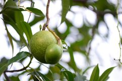 Bael fruit tree.The fruit for digestive system. Bael fruit tree.The fruit has medicinal value for digestive system stock image