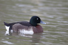 Baers pochard, Aythya baeri Royalty Free Stock Photo