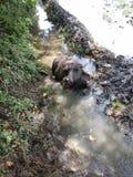 Bafalo en el agua Imagen de archivo libre de regalías
