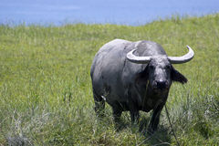 baffalo στοκ εικόνες