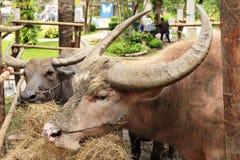 Baffalo die droog gras eten royalty-vrije stock fotografie