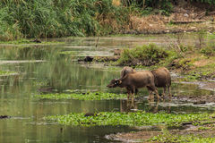 Baffalo in river, Thailand asia Royalty Free Stock Image