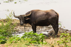 Baffalo in river, Thailand asia Stock Images
