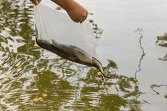 Bag of alive catfish being released into the water. Free fish or Royalty Free Stock Photo