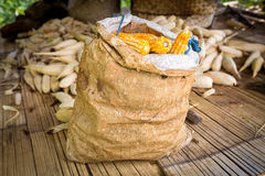 Bag of corn. At a corn field near a traditional village, flores, indonesia Royalty Free Stock Image