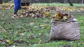 Bag full of autumn leaves and blurred worker rake colorful foliage in farm. 4K stock video