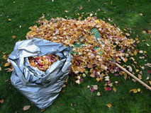 Bag of Leaves. A bag full of leaves next to a pile of leaves and a rake Royalty Free Stock Images