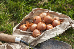 Bag of Shallot Bulbs Ready For Planting Stock Photos