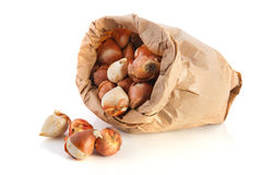 Bag tulip bulbs Royalty Free Stock Photos
