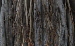 Bagażnik banyan drzewo fotografia stock