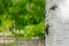 Bagażnik brzoza w parku zdjęcia stock