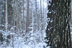 Bagażnik brzozy drzewo w zimie zdjęcie royalty free