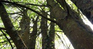 Bagażnik cisawy drzewo, aesculus hippocastanum, Normandy w Francja, zwolnione tempo zbiory