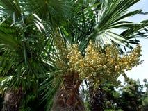 Bagażnik drzewko palmowe z liśćmi i jagodami Zdjęcie Royalty Free