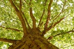 Bagażnik drzewo z gałąź Zdjęcia Stock