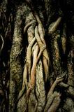 Bagażnik i korzeń bothi drzewo Zdjęcia Stock