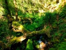 Bagażnik nad strumieniem z spokojną siklawą po środku zielonego lasu fotografia stock