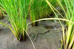 Bagażnik ryżowa roślina Fotografia Royalty Free