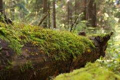 Bagażnik spadać drzewo w lesie Zdjęcie Royalty Free